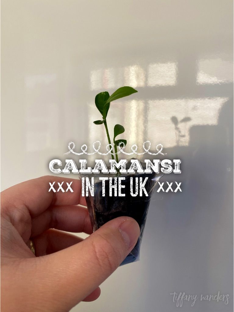 Pinay in the UK: Growing a Calamansi Plant